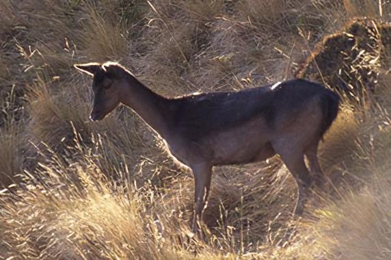 fallow-deer-doe