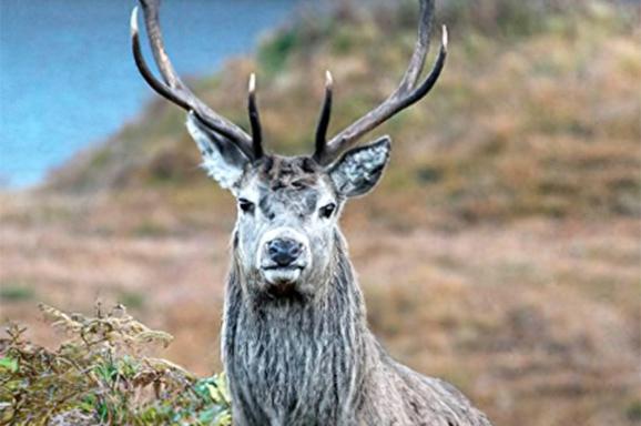 red-deer-buck