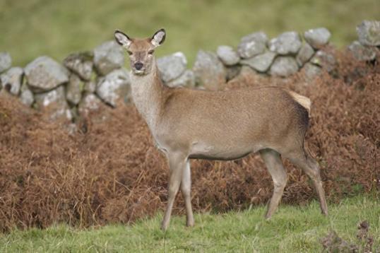 red-deer-hinds