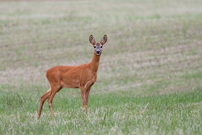 roe-deer-doe